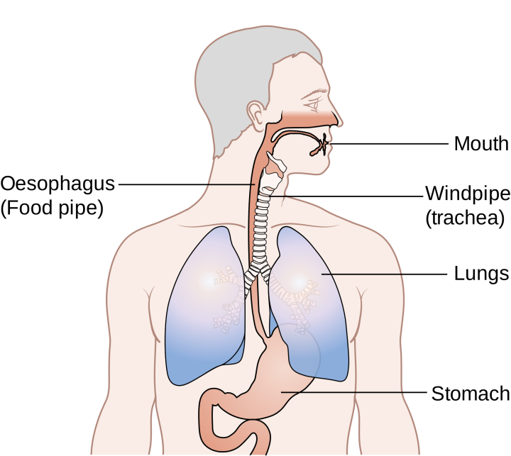 Diagram_showing_the_position_of_the_oesophagus_CRUK_355.svg_.png